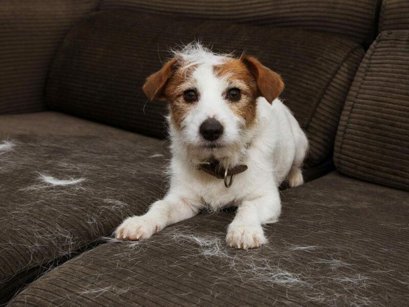 Dog Shedding – A Hairy Issue