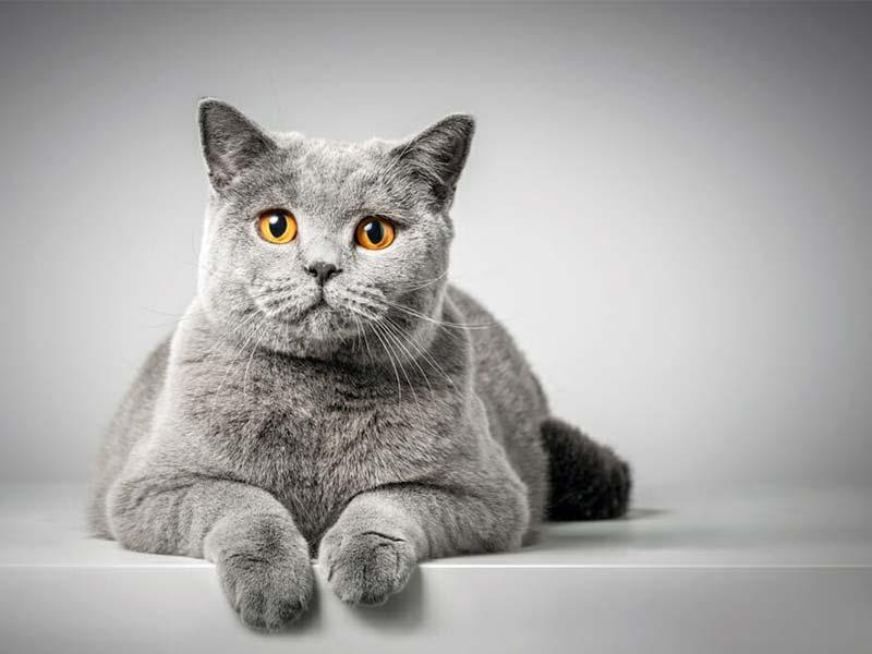 貓白血病 FeLV